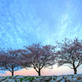 Blossoms by JC Findley