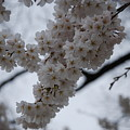 Blossoms Of Dc by Katherine W Morse