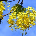 Blossoms Of The Golden Chain Tree by Yali Shi