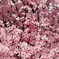 Blossoms Pink Tree Blossoms Giclee Prints Baslee Troutman by Baslee Troutman