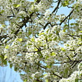 Blossoms Whtie Tree Blossoms 29 Nature Art Prints Spring Art by Baslee Troutman