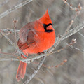 Blowing Snow Cardinal by Amy Porter