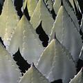 Blue Agave Cactus by Sandra Bronstein