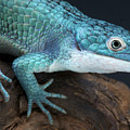Blue Alligator Lizard by Reptiles4all