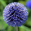 Blue Allium by Terence Davis