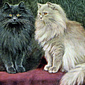 Blue And Cream Persians by W Luker Junior
