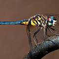 Blue And Gold Dragonfly by Christopher Holmes