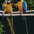 Blue And Gold Macaw 1 by Mark Fuge