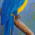 Blue And Gold Macaw by Anne Marie Brown