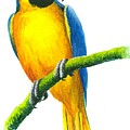 Blue And Gold Macaw by Christopher Cox