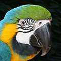 Blue And Gold Macaw Freehand Painting Square Format by Ernie Echols