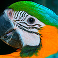 Blue And Gold Macaw Headshot by David Anderson