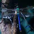 Blue And Green Dragonfly by Douglas Barnett