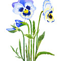 Blue And Purple Pansies  by Color Color