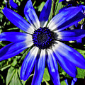 Blue And White African Daisy by D Hackett