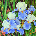 Blue And White Irises by Colleen Marquis