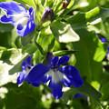 Blue And White Lobelia by Cynthia Woods