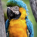 Blue And Yellow Macaw Portrait  by Teresa Wilson