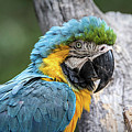 Blue And Yellow Macaw by Teresa Wilson