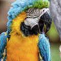 Blue And Yellow Macaw Vertical by Teresa Wilson