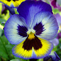 Blue And Yellow Pansy by Nancy Mueller