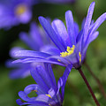 Blue Anemone  by Sharon Talson
