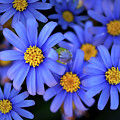 Blue Asters by Vanessa Thomas