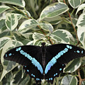 Blue-banded Swallowtail Butterfly by Judy Whitton