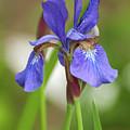 Blue Bearded Iris by Brenda Jacobs