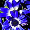 Blue Beauties by D Hackett