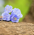 Blue Bells 2 by Norberto Nunes