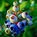 Blue Berries  by Jeff Swan