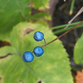 Blue Berries by Kelly Mezzapelle