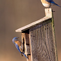 Blue Bird Couple by John Harmon