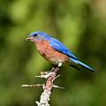 Blue Bird by David Murray