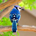 Blue Jay by John Johnson