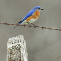 Blue Bird On Barbed Wire by Robert Frederick