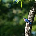 Blue Bird Perched by Douglas Barnett