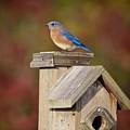 Blue Bird by Robert Pearson