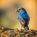 Blue Bird With Breakfast by Rikk Flohr