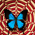 Blue Black Butterfly In Basket by Garry Gay