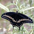 Blue Black Swallowtail by Debby Pueschel