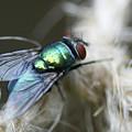Blue Bottle Fly On Garden Twine by Bonnie Boden