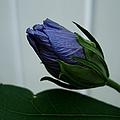 Blue Bud by Michiale Schneider