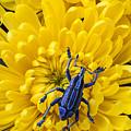 Blue Bug On Yellow Mum by Garry Gay