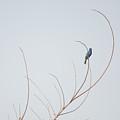 Blue Bunting by Linda Kerkau