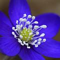 Blue Buttercup by Romeo Koitmae