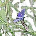 Blue Butterfly Drawing. by Nigel Dudson