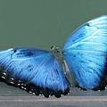 Blue Butterfly by Judy Latimer