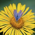 Blue Butterfly On Alpine Sunflower by Meagan Watson